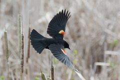 Red winged blackbird. At Vancouver BC Canada Royalty Free Stock Image