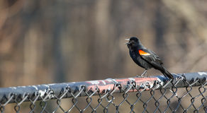 Red Winged Blackbird. Redwinged Black Bird on black chain-link fence with calling other birds royalty free stock images