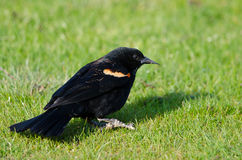 Red-Winged Blackbird Resting on the Green Grass Royalty Free Stock Image
