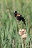 Red-winged Blackbird Screams. In the middle of a green slough, a red-winged blackbird screams while precariously perched on a flowering cattail stock images