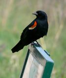 Red-winged blackbird on sign. A red-winged blackbird perched on a sign at a wildlife sanctuary in Manitoba, Canada stock image