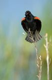 Red Winged Blackbird Singing. Red Winged Blackbird (Agelaius phoeniceus) calling out to his mate stock image
