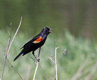 Red-winged Blackbird Singing. A male Red-winged Blackbird (Agelaius phoeniceus) singing from a perch.  Shot in Kitchener, Ontario, Canada Royalty Free Stock Photo