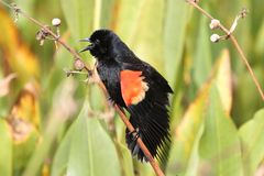Red-winged Blackbird Singing Stock Images