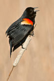 Red-winged Blackbird. Singing Male Red-winged Blackbird perched on a cattail Royalty Free Stock Photo