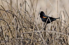 Red-Winged Blackbird Singing in the Marsh Stock Images