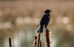 Red Winged Blackbird. Sitting on cattails Stock Photos