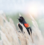 Red Winged Blackbird Stock Image