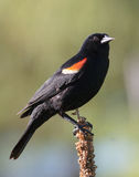 Red-winged Blackbird Stock Photos