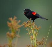 Red Winged Blackbird Song Stock Images