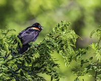 Red-winged blackbird squawking away in a tree. A red-winged blackbird hidden in a bush singing away on a summer day stock photos