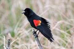 Red winged blackbird singing a song. royalty free stock photos
