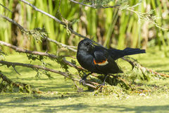 Red winged blackbird in swamp. Stock Image