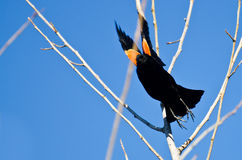 Red-Winged Blackbird Taking to Flight Royalty Free Stock Image
