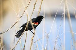 Red-winged Blackbird at Three Oaks Recreation Area in Crystal Lake, Illinois. Red Winged Blackbird in the marsh. The Three Oaks Recreation Area in McHenry County stock image