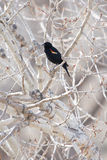 Red-winged blackbird in tree Royalty Free Stock Photos