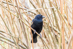Red-winged Blackbird on a tree. A male Red-winged Blackbird Agelaius phoeniceus perched on a branch. Shot in Canada Royalty Free Stock Photos