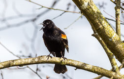 Red-winged Blackbird on a tree. A male Red-winged Blackbird Agelaius phoeniceus perched on a branch. Shot in Canada Stock Photography