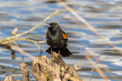 Red-winged Blackbird on a tree. A male Red-winged Blackbird Agelaius phoeniceus perched on a branch. Shot in Canada Stock Photos
