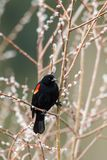 Red-winged blackbird on a twig. Royalty Free Stock Images