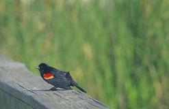Red-Winged Blackbird. View of male red-winged blackbird perched on fence, Port Aransas, Mustang Island, south Texas, United States Stock Photo