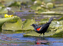 Red Winged Blackbird on Water Plants Stock Images