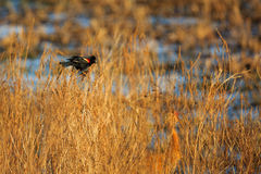 Red-winged Blackbird in Wetlands. Red-winged Blackbird Agelaius phoeniceus trying to attract a female in wetlands Stock Image