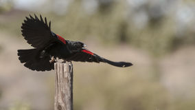Red winged blackbird. Wings stretched, landing on a fence post, declaring itself to the world. Black. Red. Defiant. Claws Stock Photo