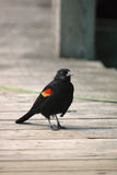 Red-winged Blackbird on wood bridge Stock Photography