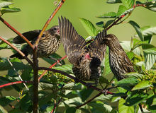 Red Winged Blackbirds - Agelaius phoeniceus Stock Image