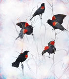Red Winged Blackbirds Stock Photo