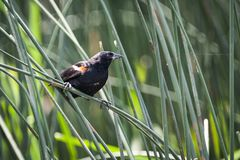 Red-winged Blackbird male, perched on reed stock image