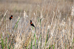 Red-winged Blackbirds, Savannah National Wildlife Refuge Stock Photos