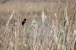 Red-winged Blackbirds, Savannah National Wildlife Refuge Stock Image