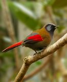 Red-winged Laughingthrush Stock Images
