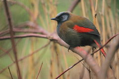 Red-winged laughingthrush Stock Photos