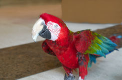 Red winged macaw. Colourful bird Stock Image