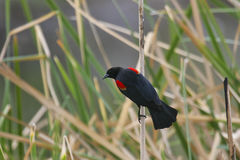Red-winged Merel Stock Afbeeldingen