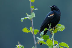 Red-winged Merel Royalty-vrije Stock Afbeelding
