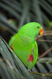 Red winged Parrot Stock Photography