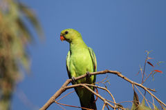 Red-winged parrot Stock Photos