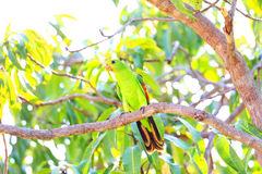 Red-winged Parrot Royalty Free Stock Photography