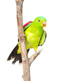 Red-Winged Parrot (Aprosmictus erythropterus) in front. isolated Stock Photo