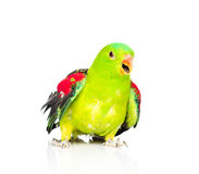 Red-Winged Parrot (Aprosmictus erythropterus) in front . isolated Stock Images