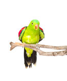 Red-Winged Parrot (Aprosmictus erythropterus) in front. isolated Royalty Free Stock Photography