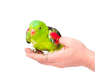 Red-Winged Parrot (Aprosmictus erythropterus) on a man's hand. isolated Royalty Free Stock Image