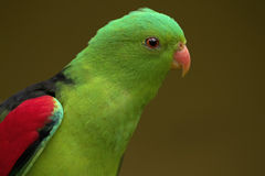 Red winged parrot Royalty Free Stock Photo