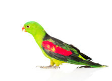 Red-Winged Parrot (Aprosmictus erythropterus) in profile . isolated Royalty Free Stock Images