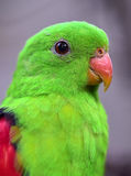 Red-winged Parrot close-up Royalty Free Stock Photos
