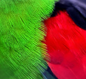 Red - winged Parrot feathers Stock Images